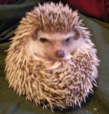 Hedgehog Pet Price >> Hedgehogs